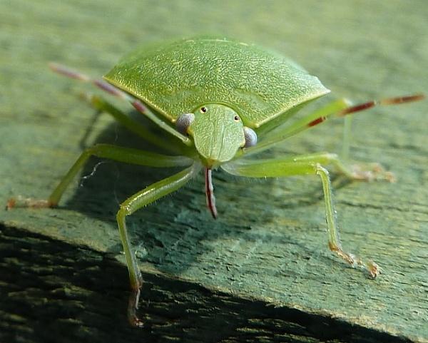 crazy leaf bug by Bakermanz