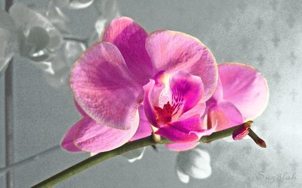 Parisian Orchid by Suz3lah