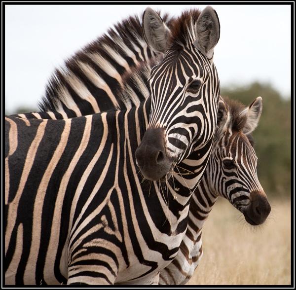 Zebras by Kilcaff