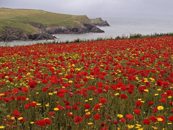 Cornish poppy field by JenniCh