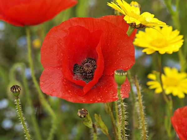 Wild Poppy by JenniCh