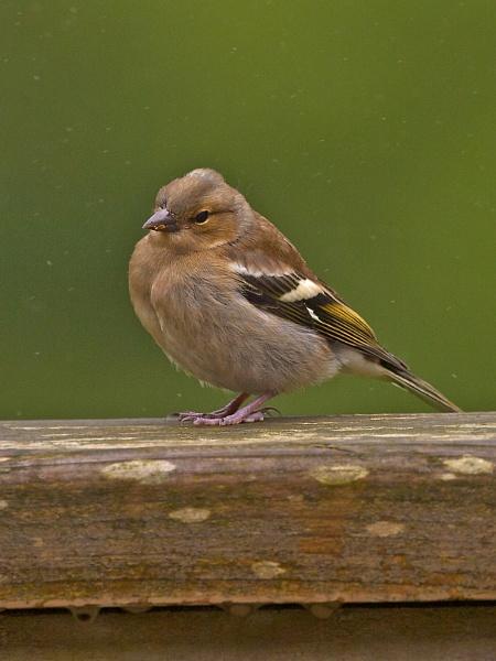 Juvenille Chaffinch by skewey