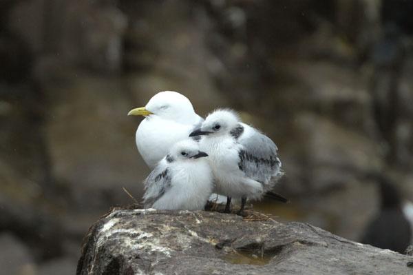 Gull Family on Farne Islands by bpjohn