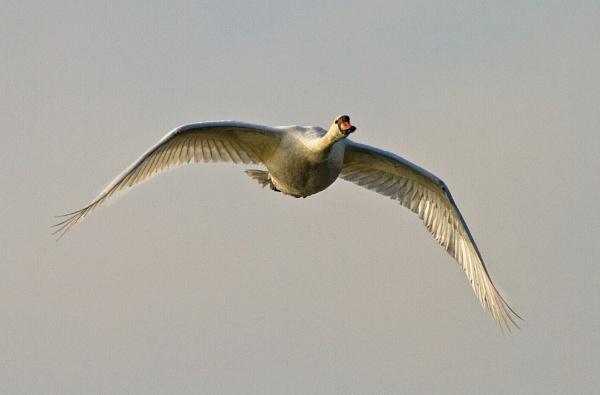 Mute swan in flight by JCRAWFORD
