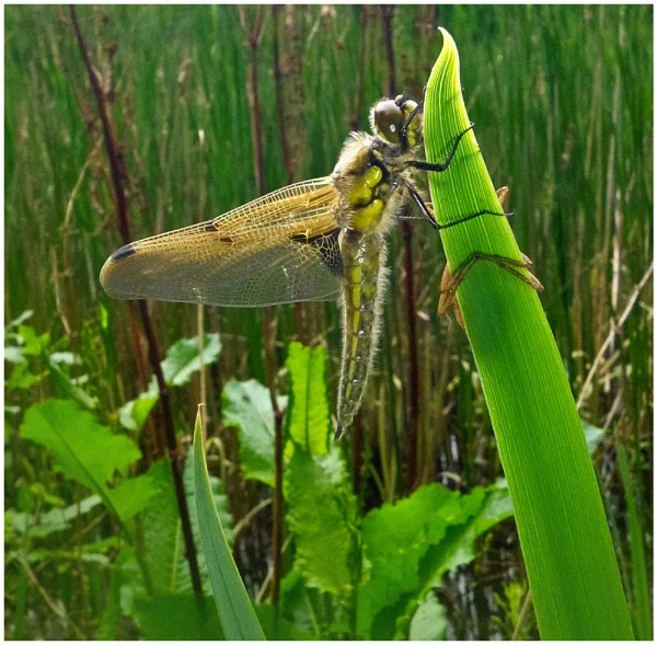 Dragonfly emerging by malleader