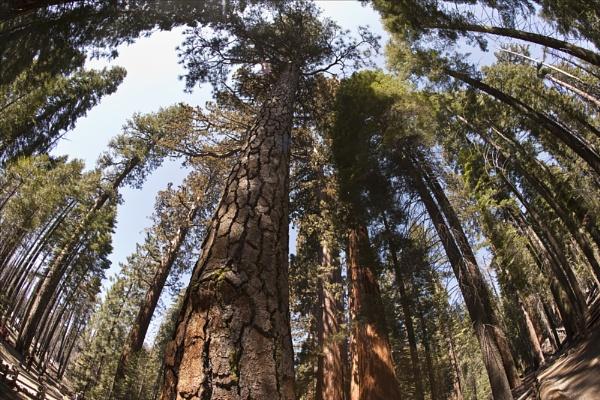 Sequoia Grove, Mariposa California. by rontear