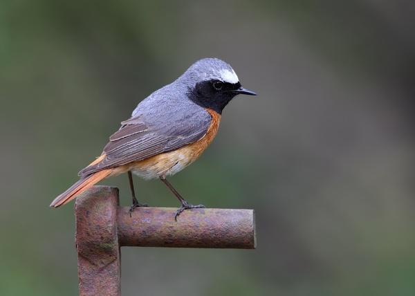 Male Redstart by Karen_Summers