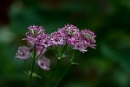 Astrantia by JackAllTog