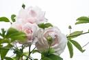 Roses by JackAllTog