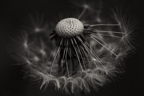 Dandelion by Audran