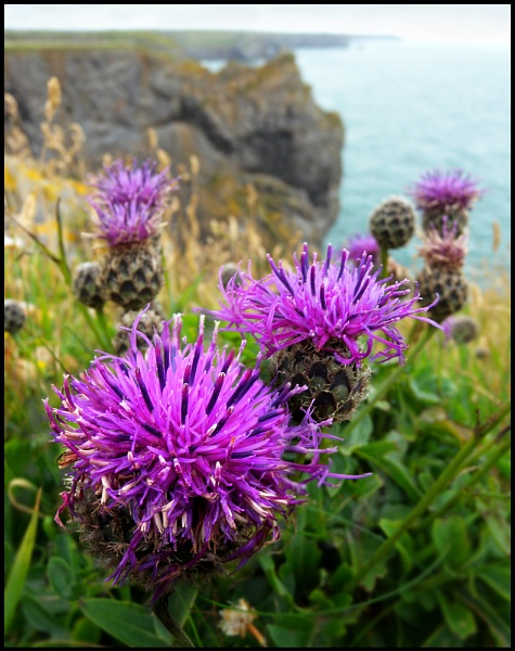 Coastal Knapweed. by Niknut