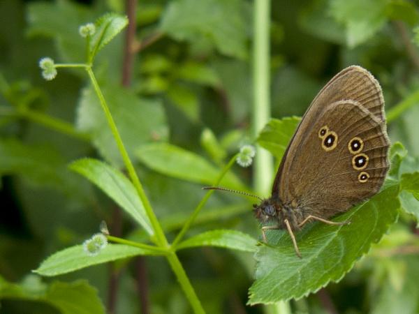 Ringlet Butterfly by woodlandlad