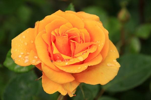 Rose by canonfan