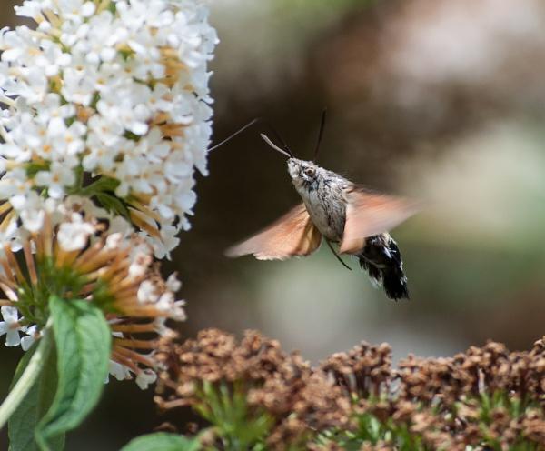 Humming Bird hawk Moth by chavender
