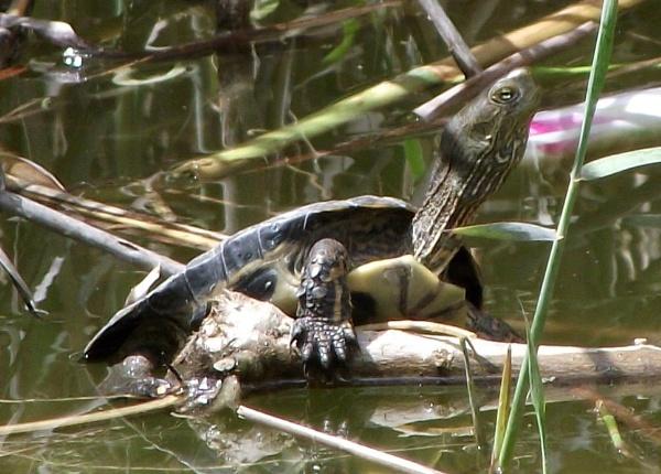 Turtle by K4TIE