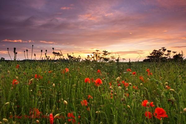 Norfolk Poppies by PaulThetfordPhotography