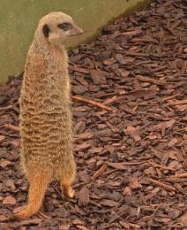 meerkat ? no way.