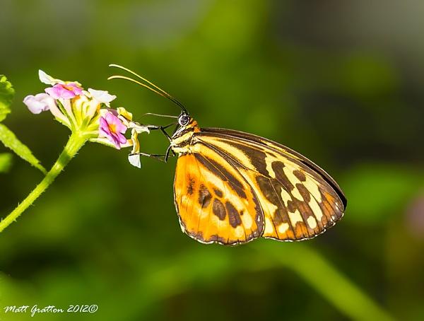 Orange wings by mohikan22