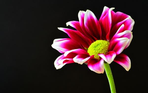 Chrysanthemum by nicedayout