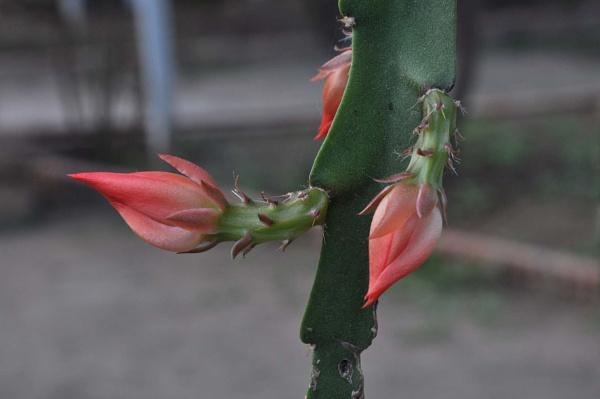 epiphyllum ackermannii_0031a by MAKRADA