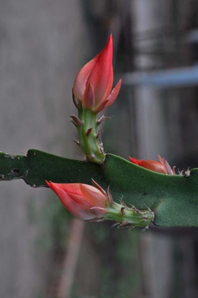 epiphyllum ackermannii_0031b by MAKRADA