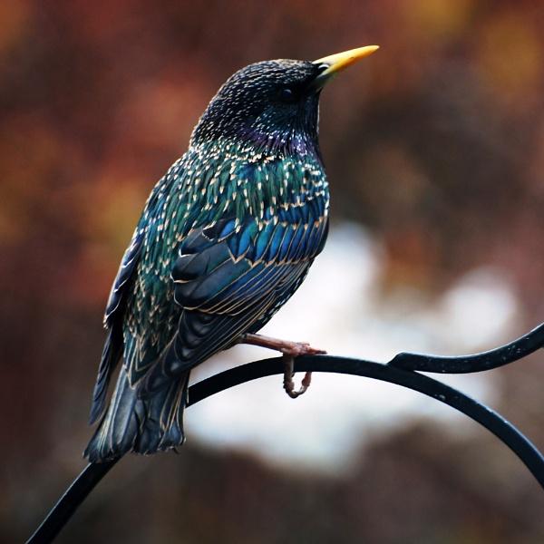 Starling by jinglis
