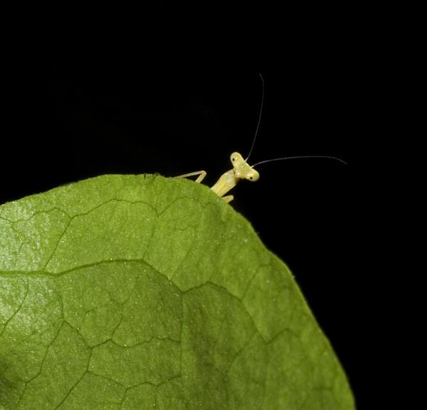 Weeeny Weeeny Weeeny Baby Mantis