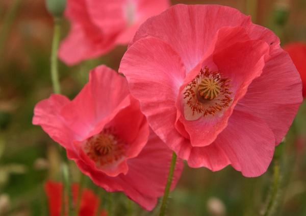 Poppies by MarkBullen