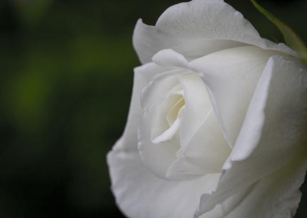 White Rose by MarkBullen