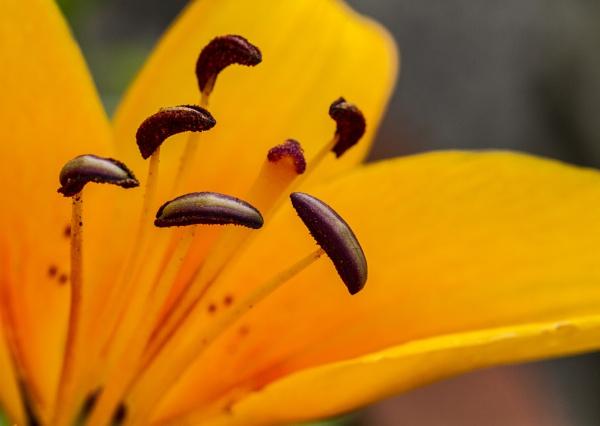Orange Lilly by MarkBullen