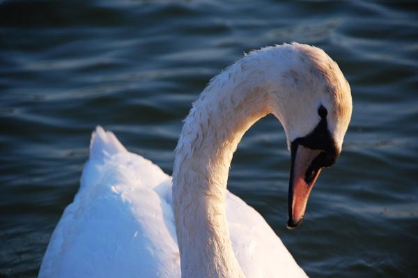 Swan by m60mrj