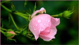 *Pink Rose Bud*