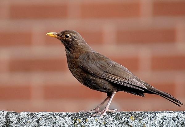 Blackbird (female) by Hobo