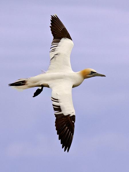 Gannet by skewey