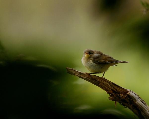 Pretty Willow Warbler by ssnowyc