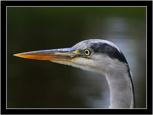 Heron by JCRAWFORD