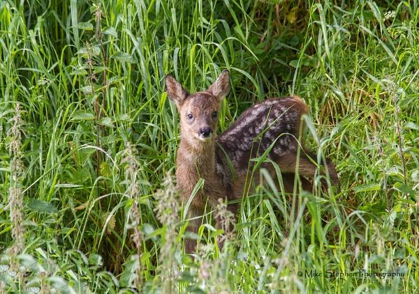 Roe Deer Fawn by Mstphoto