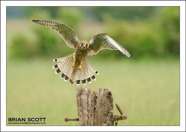 Kestrel by Brian_Scott