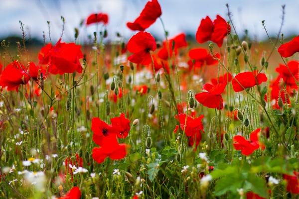Poppies by mlanda