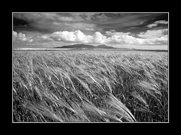 Benbecula Corn by jdgrimsay