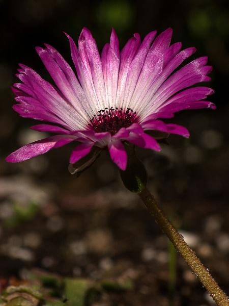 Mesembryanthemum by Alan_Baseley