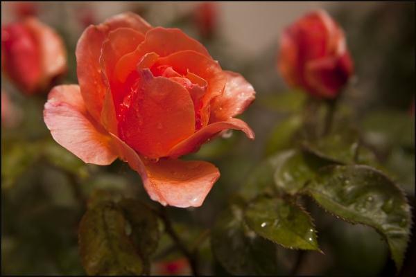 London Rose by sophielou