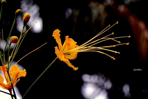 Caesalpinia pulcherrima. - Rajamalli by janetius