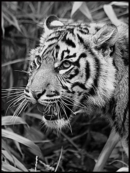 Tiger Tiger by iscramble