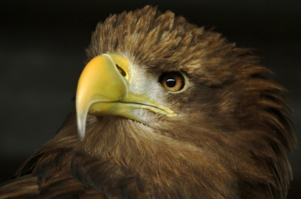 Portrait of a Sea eagle. by 7d
