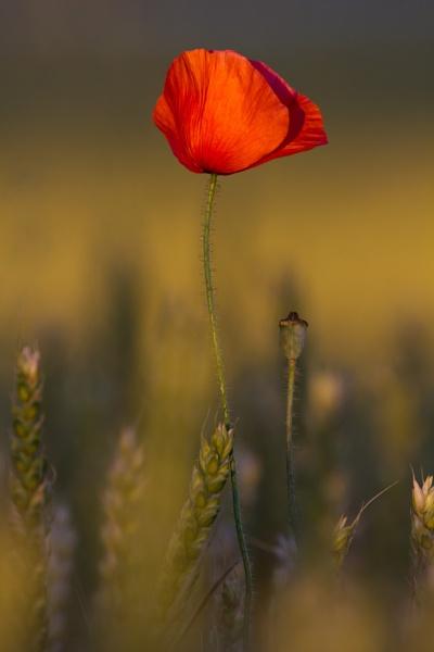 "\"" Lone Poppy \"" by gilbertmjake"