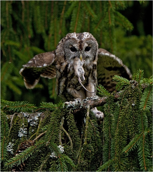 Tawny Owl with catch by hibbz