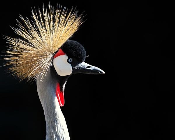 crownbird by perakman