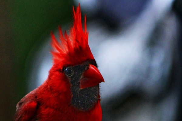 Eye of a Cardinal by Mbopp50