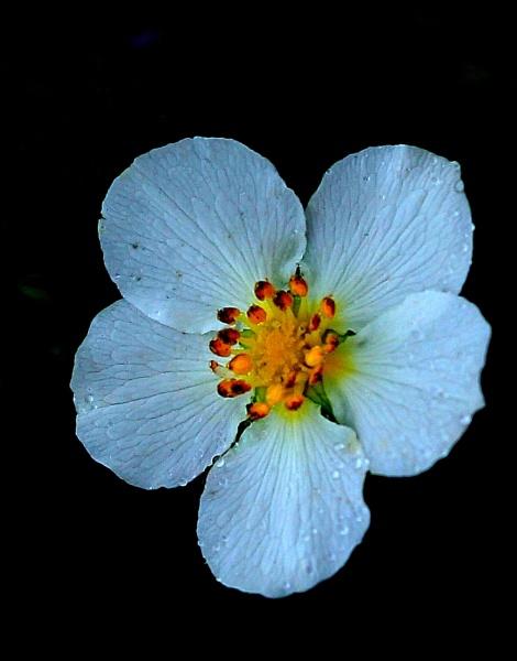 Petals by tonyguitar